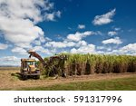 sugar cane harvesting in... | Shutterstock . vector #591317996