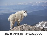 A Mountain Goat In The Rocky...