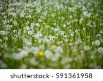 A Field Of Withered Dandelions