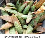 cactus and succulent | Shutterstock . vector #591384176