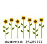 sunflowers flowers background....   Shutterstock .eps vector #591393938
