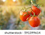 Fresh Red Tomatoes On Plant In...