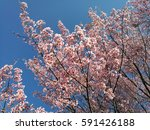 the sky sakura thailand   Shutterstock . vector #591426188