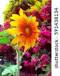 sunflowers garden. sunflowers... | Shutterstock . vector #591438134