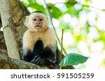 A White Faced Capuchin Fills...