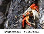 an adult halloween crab seen in ...   Shutterstock . vector #591505268