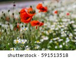 red poppys sway in the wind as...   Shutterstock . vector #591513518