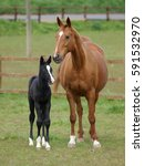Small photo of A pretty black foal stands in a paddock with its mother. foal stands in a paddock with its mother.