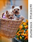 Yorkshire Terrier Two Puppies...