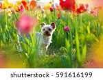 Stock photo puppy yorkshire terrier walking in the garden with blooming tulips 591616199
