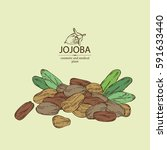 background with jojoba nuts.... | Shutterstock .eps vector #591633440