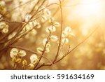 blooming willow branch in...   Shutterstock . vector #591634169