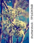 apple tree flower blossoming at ... | Shutterstock . vector #591634568