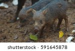 peccary pig baby. common names  ... | Shutterstock . vector #591645878