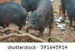 herd of peccary pig eating.... | Shutterstock . vector #591645914