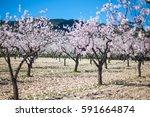 almond trees   almond orchard... | Shutterstock . vector #591664874