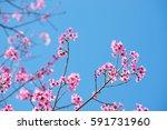 Pink Sakura Flower Thailand...