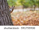 A Wild Squirel Captured In A...