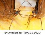 Two Brown Butterflies...