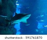 Small photo of aggressive shark with teeth swims in huge aquarium