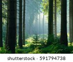 natural forest of spruce trees... | Shutterstock . vector #591794738