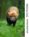 Brown Wild Bush Dog  Speothos...