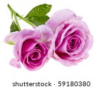Pair Beautiful Roses Isolated...