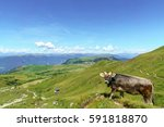 Small photo of Panroma of Seiser Alp with alp cow