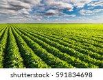 soybean fields rows in summer   Shutterstock . vector #591834698