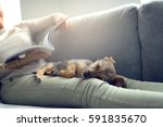 puppy sleeping on owner laps ... | Shutterstock . vector #591835670