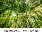 spring  forest of deciduous... | Shutterstock . vector #591842450