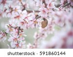 Small photo of Almond tree pink flowers