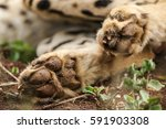 Cheetah Paws Lying On Red Sand...