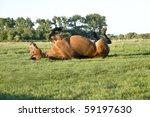 Beautiful Brown Horse Rolling...