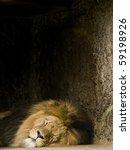 Sleeping Lion  Panthera Leo ...