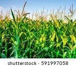 Corn Fresh Leaves In Sunlight...