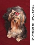 Small photo of The Yorkshire terrier lies on a claret background with a red bow on the head.