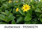 beautiful yellow flower at... | Shutterstock . vector #592060274