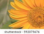 sun flower close up view | Shutterstock . vector #592075676
