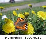 Small photo of Orange butterfly collecting nectar from dandelion. Honey plants Ukraine. Collect pollen from flowers and buds