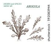arugula.  botanical... | Shutterstock .eps vector #592083944
