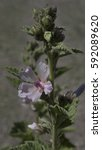 Small photo of Eibisch (althaea officinalis) - marsh mallow_Botanical garden KIT Karlsruhe, Baden Wuerttemberg, Germany