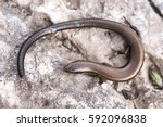 Small photo of Budak's snake-eyed skink (Ablepharus budaki)