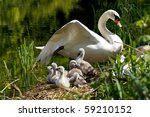 Cygnets On Their Nest With...