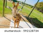 giraffe at lion country safari... | Shutterstock . vector #592128734