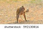 Wild Monkey Standing On The...