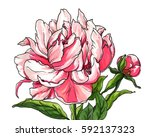 pink peony flower blossom. hand ... | Shutterstock . vector #592137323