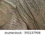 Ear Detail Of An Elephant With...