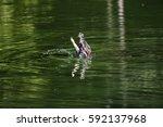 Small photo of Broad-snouted caiman (Caiman latirostris) eating a Amazon sailfin catfish (Pterygoplichthys pardalis) in Vitoria, Espirito Santo - Brazil.