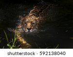 Jaguar  Panthera Onca  Swims ...